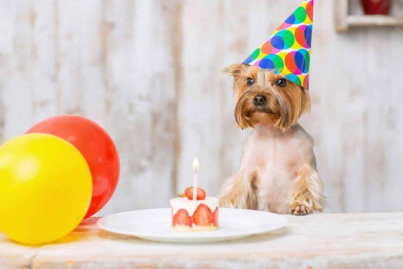 Pets | Birthday | Fun Ways To Celebrate | Birthday Ideas | Spoil Pets | Melbourne Pet Blog | The Daily Fluff