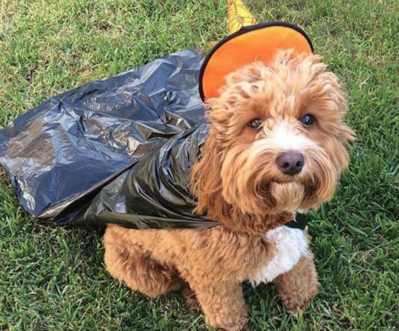 Oliver The Cavoodle | Halloween | Dress Ups | The Daily Fluff