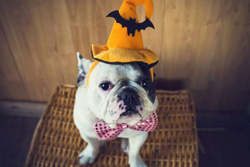 Halloween | Pet | Costumes | Celebrate | Pet Tips | The Daily Fluff | Melbourne Pet Blog