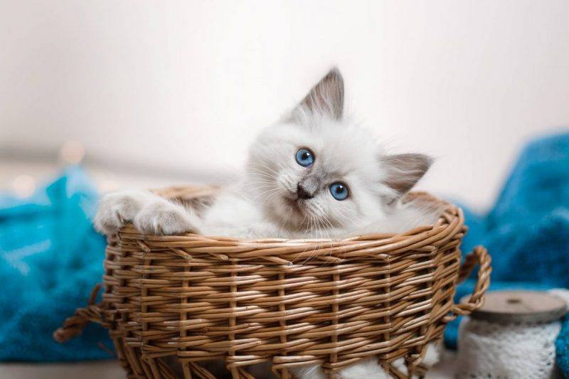 Cats | Breed | Affectionate | the Daily Fluff | Australian Pet Blog